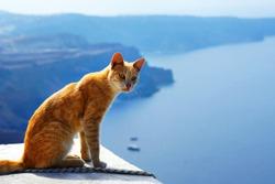 greek red cat, is sitting against beautiful sea view of Santorini, Greece