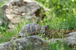 Greek tortoise walking in the meadow. Turtle in the Rhodope mountains. Bulgaria wildlife.