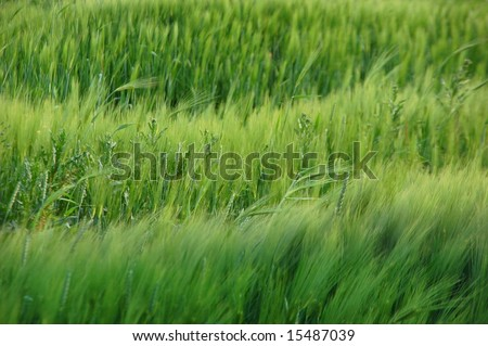 Green abstract view of wheat and grass on a windy day
