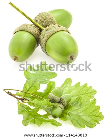 Green acorn fruits with an oak leaf isolated on white background