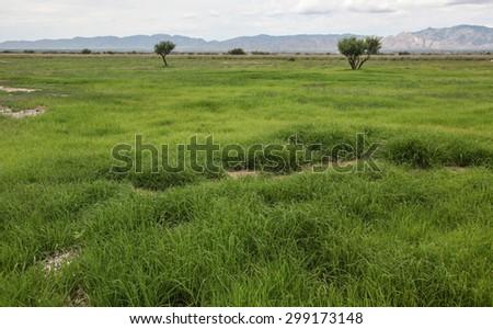 Green, after rain, summer wild grasses of pasture in semi-desert region/Wild Green Pasture Grasses in Summertime Semi-Desert Countryside After the Rain/Wild green grassy field turned green after rain
