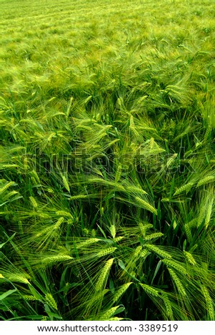 green agricultural field, cereal