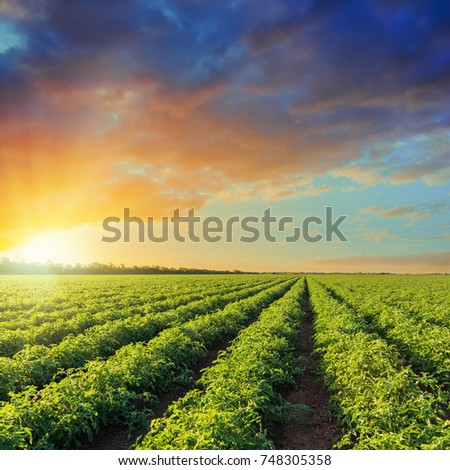 green agriculture field with tomatoes and orange sunset in dramatic sky