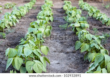 green agriculture plants in a raw with brown soil