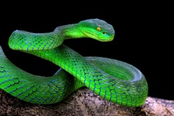 Green albolaris snake front view with black background, animal closeup