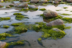 Green algae covered boulders at sea coast beach. Background and surface texture. Sea algae or Green moss stuck on stone. Rocks covered with green seaweed in sea water.