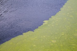 green algae floating on rippled water surface of the pond with pronounced diagonal border between duckweed and exposed water surface