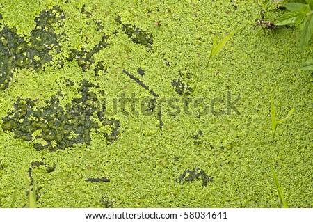 green algae growth