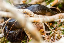 green anaconda anaconda snake resting on branches cuyabeno national park ecuador telephoto shot green anaconda excursion wild animal animal river water flow hazard vegetation earth waterway rain fores
