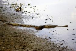 Green Anaconda, eunectes murinus, Adult entering Water, Los Lianos in Venezuela
