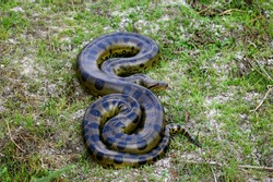 Green Anaconda, eunectes murinus, Adult standing on Grass, Los Lianos in Venezuela