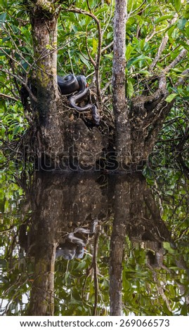 Green Anaconda in Cuyabeno Wildlife Reserve, Ecuador. After warming up on the tree, in the sun is moving towards the water. Around 5 meters long. In natural environment of Ecuadorian jungle.