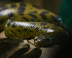 Green anaconda on a wood piece looking into the camera lens under a low lighting conditions