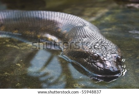 green anaconda on the water