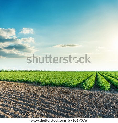 green and black agriculture fields with tomatoes in sunset #571017076