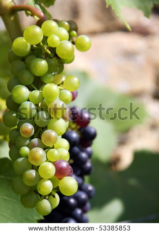 Green and black grapes on a vine in sunlight. Space for text