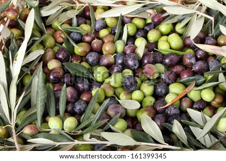 Green and black olives with a frame of branches and leaves of olive tree