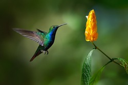Green and blue Hummingbird Black-throated Mango, Anthracothorax nigricollis, flying next to beautiful yellow flower.
