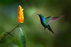 Green and blue Hummingbird Black-throated Mango, Anthracothorax nigricollis, flying next to beautiful yellow bloom. Wildlife scene from tropical nature, Trinidad.