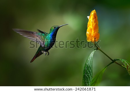 Green and blue Hummingbird Black-throated Mango, Anthracothorax nigricollis, flying next to beautiful yellow flower. #242061871