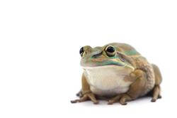 Green and golden bell frog isolated on white background