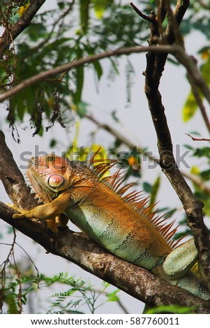 green and orange iguana, iguana iguana, martinique, caribbean #587760011