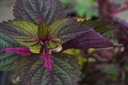 Green and purple iler flowers. This flower has the Latin name Coleus scutellarioides, commonly known as coleus, is a species of flowering plant in the family Lamiaceae (the mint or deadnettle family).