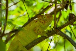 Green and red chameleon or cameleon in a tree close to Madagascars island Nosy Be