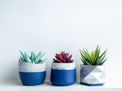 Green and red succulent plants in modern geometric concrete planters on white shelf isolated on white wall background. Three beautiful blue and silver colour painted cement pots.