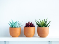 Green and red succulent plants in small modern terracotta pots on white wood shelf isolated on white wall background with copy space.