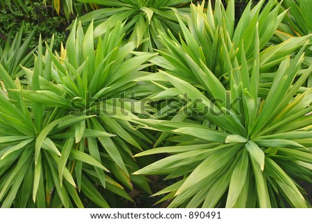 Plantas verdes y spiky de la familia del cordyline