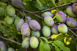 Green and unripe plum fruits on a branch that began to turn blue. Plum fruits ripen on the branch. Unripe plum fruits on a branch in an orchard.