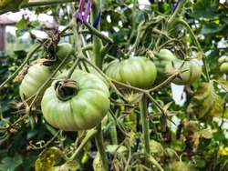 green and unripe tomatoes are hanging on the bush. large fruits of unripe vegetables. in the greenhouse vegetable plantation with tomatoes and cucumbers. growing organic products.
