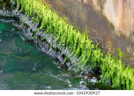 Green and wet algae grew up at the concrete coastline of a riverbank in a row #1042930927