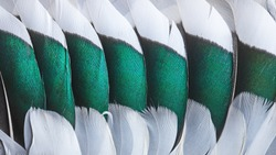Green and white feathers on the wing of a wild duck as a background. Close-up colorful feathers. Bird feathers background and texture.