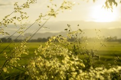 Green and white wild grass flower with natural sun set or sun raise, golden sky in morning of summer or spring.  Blurred flower background.