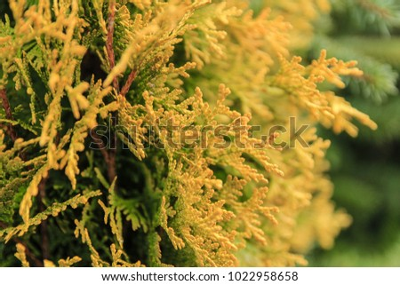 Green and yellow branches of a coniferous tree close-up in the daytime. Photo of branches on the background of defocused green coniferous tree #1022958658