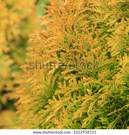 Green and yellow branches of a coniferous tree close-up in the daytime. Photo of branches on the background of defocused green coniferous tree #1022958721