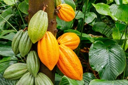Green and Yellow Cocoa pods grow on the tree. The cocoa tree ( Theobroma cacao ) with fruits.