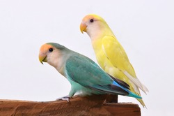 green and yellow collar lovebirds ( Agapornis rosencollis). Love birds