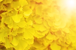 Green and yellow fall leaves of Ginkgo Biloba - healing plant, nature autumn sunny background