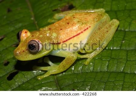 green and yellow frog, Ecuador, near Peru (Kapawi)