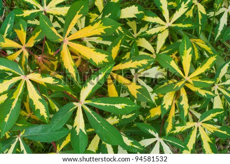 green and yellow leaf of cassava  (Manihot esculenta  )