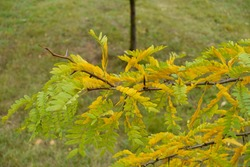 Green and yellow leafage of honey locust in October