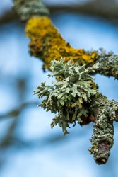 Green and yellow lichen on an old tree branch. Hypogymnia physodes, Evernia prunastri and Xanthoria parietina are common lichen species. Lichens are symbiotic organisms of fungi and algae.