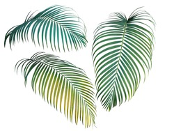 Green and yellow palm leaves collection, tropical plant isolated on white background, clipping path included.