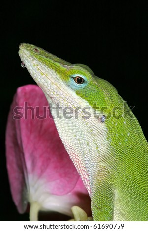 Green Anole and Single Hydrangea