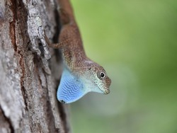 Green Anole, Anole annals, anolis conspersus, also know as the blue throated anole. Is a small reptile found in Grand Cayman
