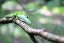 Green Anole eye close up