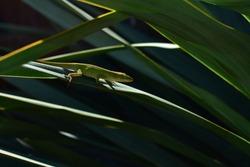 Green Anole Lizard (Anolis carolinensis) Perched On a Yucca Leaf